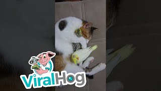 Cute Birds Cuddled by Cat || ViralHog