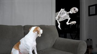 Halloween Prank: Skeleton Scares Dog
