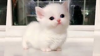 Marshmallow Munchkin Kittens So Cute It Hurts!