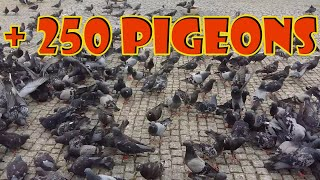 I Fed 250 Pigeons – Cute Birds !!