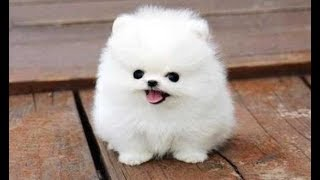 Top 10 Funny Puppies – A Cute Puppy Videos Compilation 2017