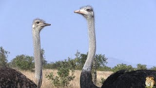 Beautiful Funny Birds – The Ostrich