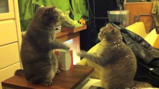 Cute Cats Playing Patty Cake Part  2