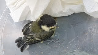 Baby bird rescued from cat: mother feeds cute fledgling