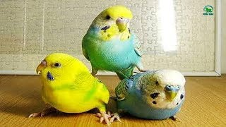 OMG!! This Tame Birds are Too Cute and Hilarious – Amazing Naughty Pet Birds Video