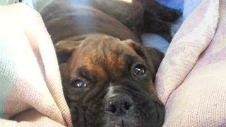 Cutest Boxer puppy meets Boxer dog for the first time!