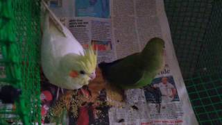 Cockatiel And Lovebird Peaceful Interaction #cockatiel  #lovebird #birds #birb #cute