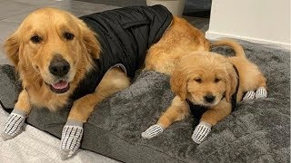 Cute Dogs And Puppies Golden Retriever – Funny And Cute Golden Retriever Puppies Compilation 2019