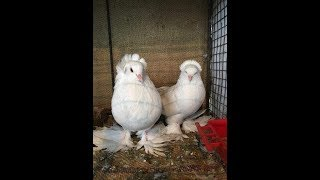 Birds funny videos in bathroom!! Kabutar ki snan karte huya dekho.