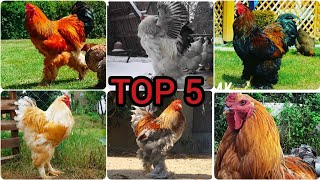 Top 5 Biggest & Cutest Brahma Roosters in the World