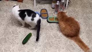 Funny Cats Vs  cucumbers  funny cat scared of socks  cats being jerks