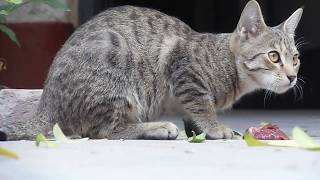 Cats Meowing – Cute Kittens Meowing – Cat Meowing Video – Kitten Meowing Videos