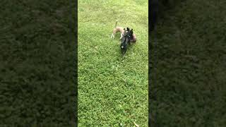 Funny And Cute Dogs Playing Football Together (Part 2) | Funny Dog Video | Funny Active Pets