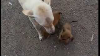Indian Street Puppies