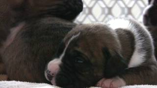 Puppies-Neveah's Boxer Puppies At 2 Weeks Old