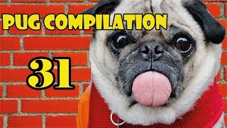 Pug Compilation 31 – Funny Dogs but only Pug Videos | Instapugs