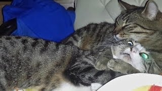 Cute Cats in Love Cuddling