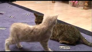 Introducing Bengal cat to a new kitten for first time