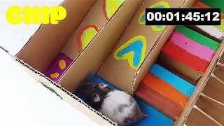 Chip and Pipi – Funny Hamsters Running In Maze Race