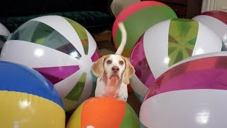 Beach Ball Birthday Surprise for Cute Dog Maymo!