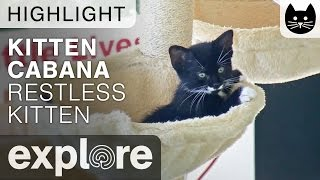 Restless Kitten Tries to Sleep at the Kitten Cabana – Live Camera Highlight