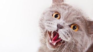 Cute and Funny Cats Meowing (HD) [Epic Laughs]