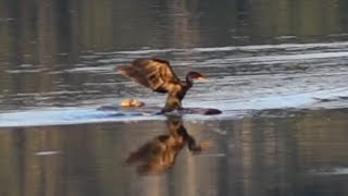 Cormorant trying to share log with basking turtle, what happened?
