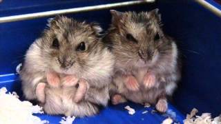 Hamsters Sound