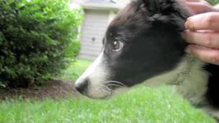 Scrappy the Border Collie Puppy