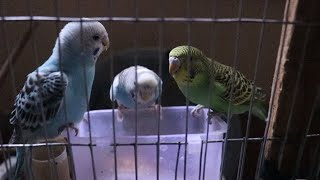 Budgies Eating Seeds ~ Quarrel Budgies for foods ~ Cute Birds Eating Vlog
