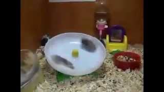 Hamsters spinning on a wheel