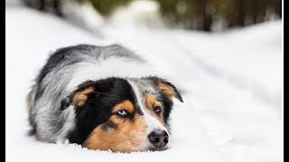 Australian Shepherd Videos Compilation – Funny Cute Australian Shepherd Puppies and Dogs Playing.