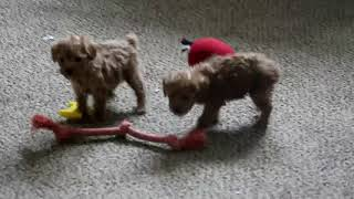 Miniature Poodle Puppies For Sale Wilmer Stoltzfus