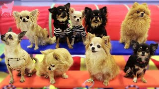 Cute Chihuahua Dogs Show Fun Tricks (Super Cute!)