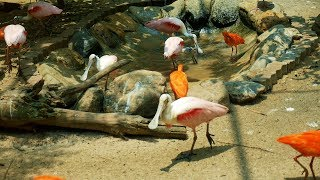 Beautiful Birds Scarlet Ibis and Roseate Spoonbill roaming eating happily.Cute Birds Video