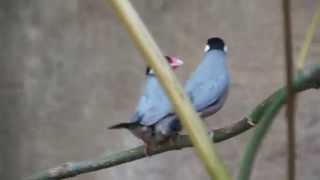 Funny , Cute Mating Dance of Java Sparrow Birds