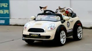 Cats Practice Driving Cars – Funny Cats Compilation