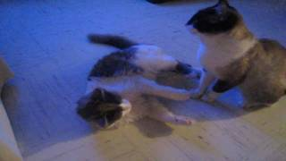 Cute cats playing!