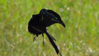Widowbird Jumping Competition   Planet Earth II   BBC Earth