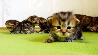 3 week old Funny  Kittens learns how to walk | Too Cute Cats