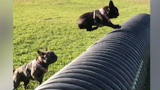 Funniest & Cutest French Bulldog puppies Videos Compilation 2017 | funny dog videos try not to laugh