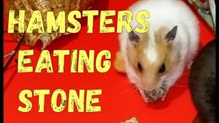 Hamster eating stone | Funny Hamsters 🐹