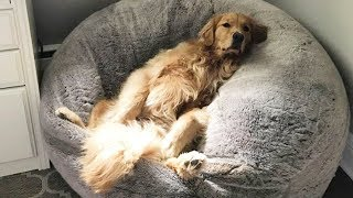 Cutest Golden Retriever Puppies And Dogs Videos – Funny And Cute Golden Retriever Compilation
