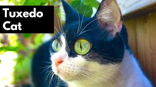 Tuxedo Cats Being Amazing – Tuxedo Cat Personality – Silly & Cute Cats 101