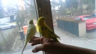 Funny Birds running on my arm and looking out the window