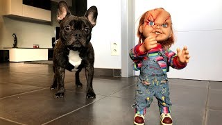 Funny Dog VS Little Chucky Prank: Flor The Frenchie