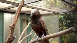 Cute Kaka Bird in Stuttgart Zoo