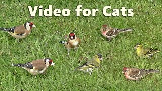 Video for Cats to Watch : Little Birds on The Lawn