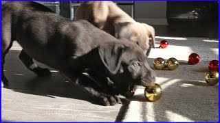 Puppies Attacking Christmas Ornaments!