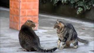 Puffy cute cats fighting